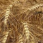wheat-usda-300